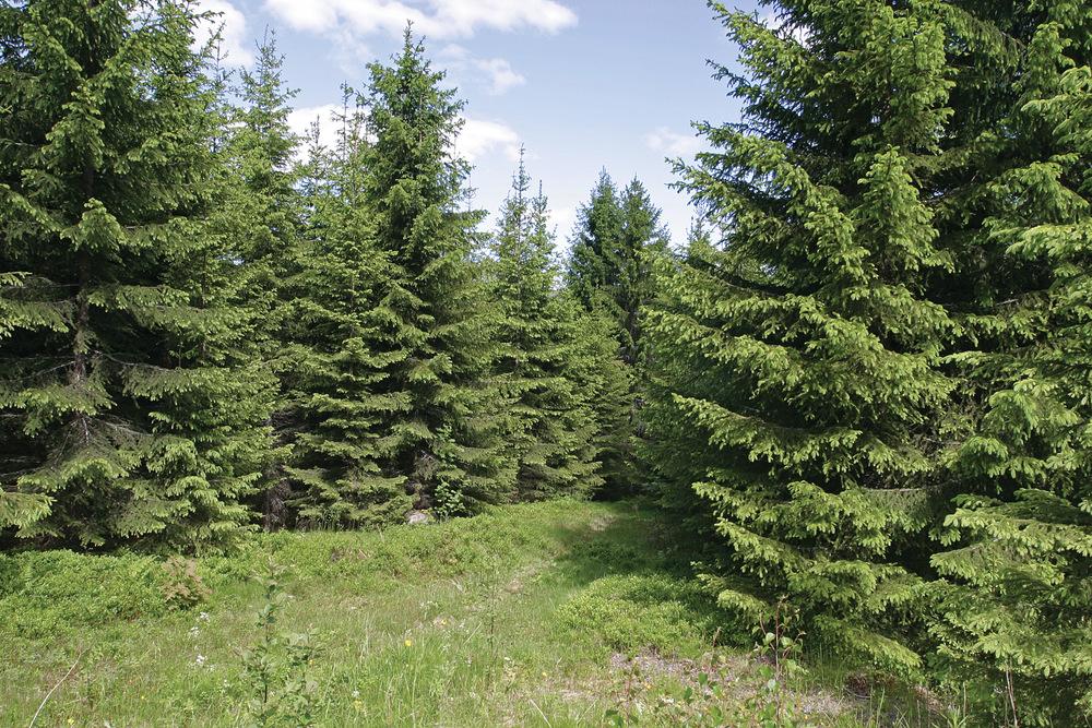 Data fra de siste ti årene viser at opp mot 60 prosent av skogfondet har gått til skogkultur. Foto: John Yngvar Larsson, NIBIO