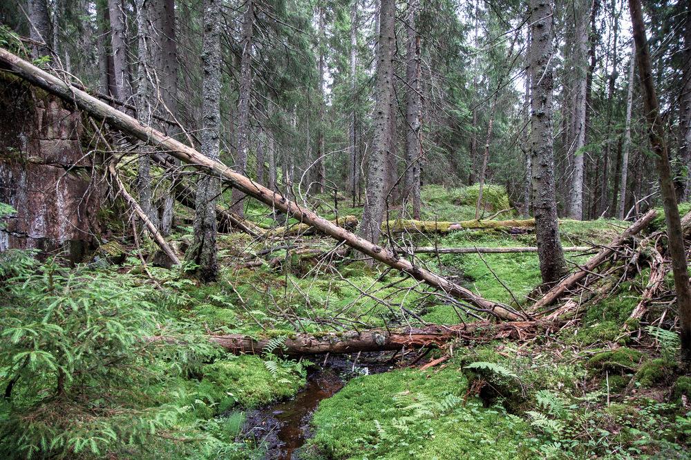 Tilskudd til aktiviteter i skogbruket skal bidra til å utvikle skogbruket som næring, samtidig som hensynet til miljøverdiene og det biologiske mangfoldet ivaretas. Fuktig gammelskog med mye dødved. Bjørnsjøen, Oslo. Foto: John Yngvar Larsson, NIBIO