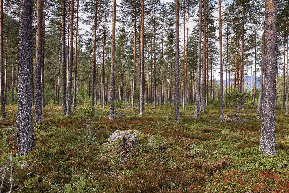 I skogkursene undervises det blant annet i hvordan vegetasjonstypene kan gi god informasjon om riktig foryngelsesmåte. Areal med bærlyngskog er velegnet for naturlig foryngelse med frøtrestilling. Begnadalen, Oppland. Foto: John Yngvar Larsson, NIBIO