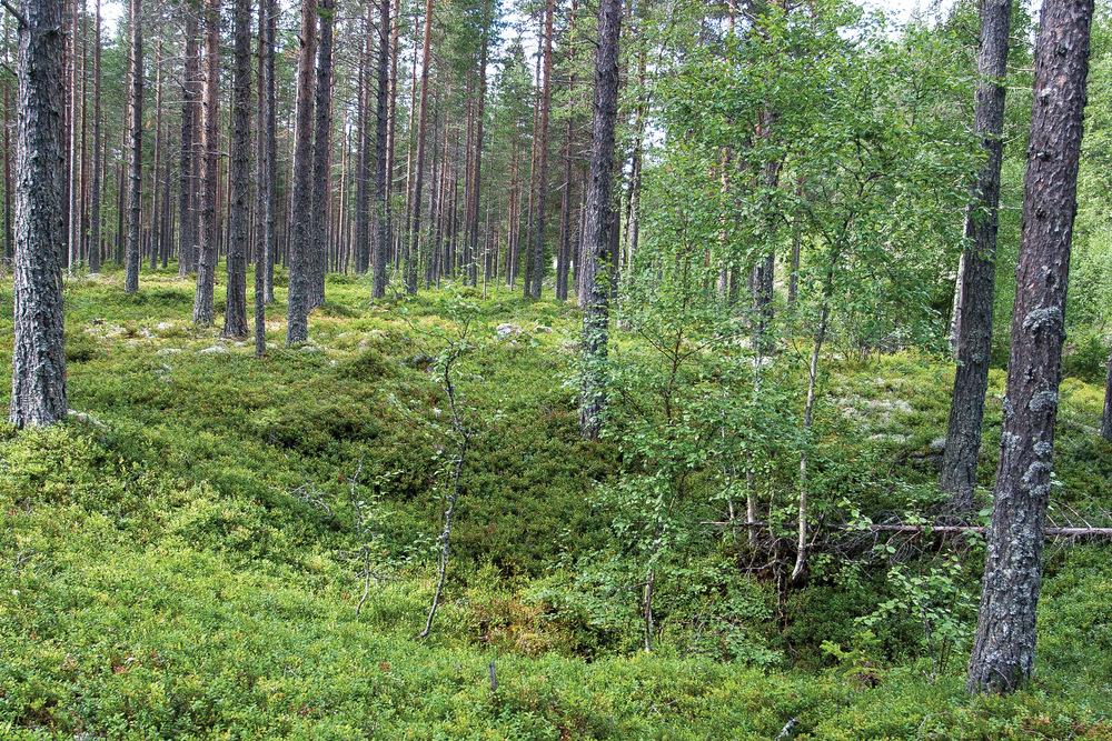 En omfattende jernproduksjon gjennom flere hundre år krevde store mengder kull til drift av ovnene. Rester av kullgroper er vanlige kulturminner i skog. Imsroa, Hedmark. Foto: John Yngvar Larsson, NIBIO