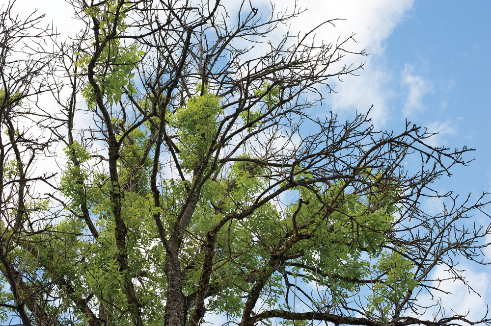 Overvåking av skogskader er et ledd i kriteriet «Opprettholdelse av helse og vitalitet i skogøkosystemer». Askeskuddsjuke er forårsaket av askeskuddsopp. Foto: Dan Aamlid, NIBIO