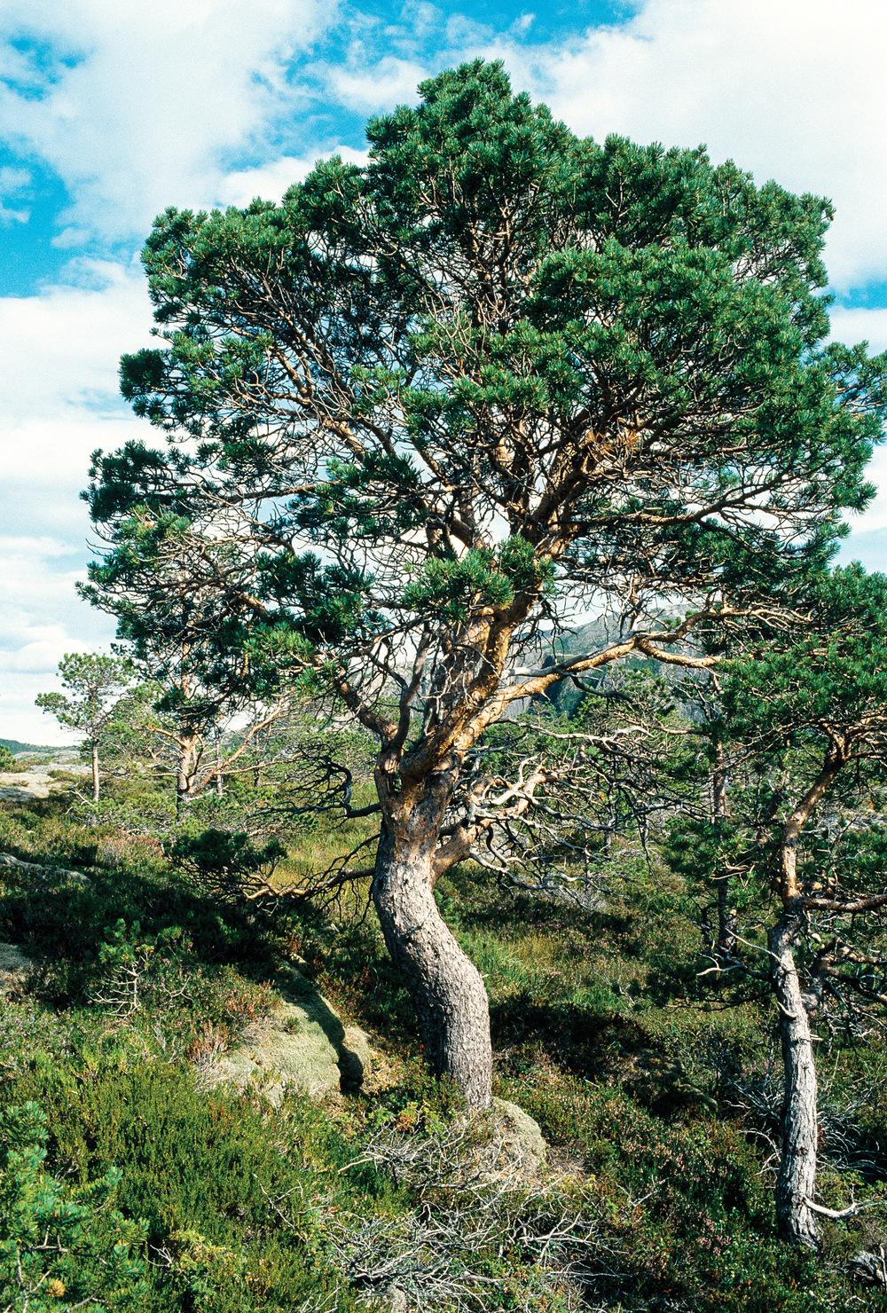 Kraggfuru er betegnelse på et lavt, krokete furutre. Foto: John Yngvar Larsson, NIBIO