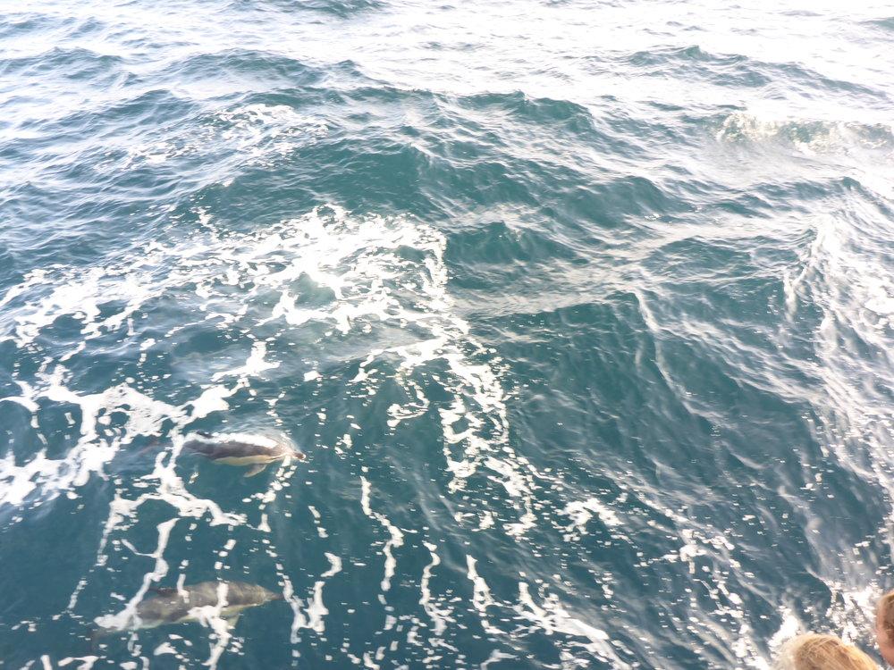 Dolfijnen langs het schip.