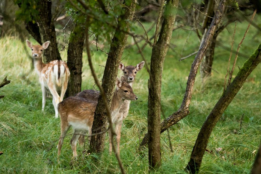 Deer admirer-100115.jpg