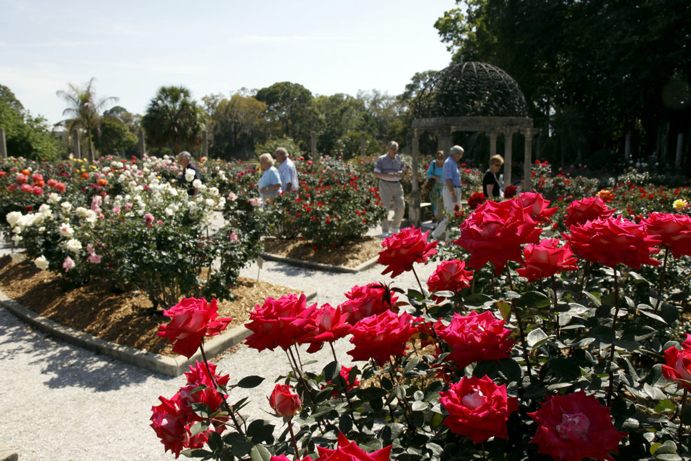 """Mable's rose garden"" on the Ringling museum grounds, is next to the playground and free to visit.  (photo/Herald-Tribune archive)"