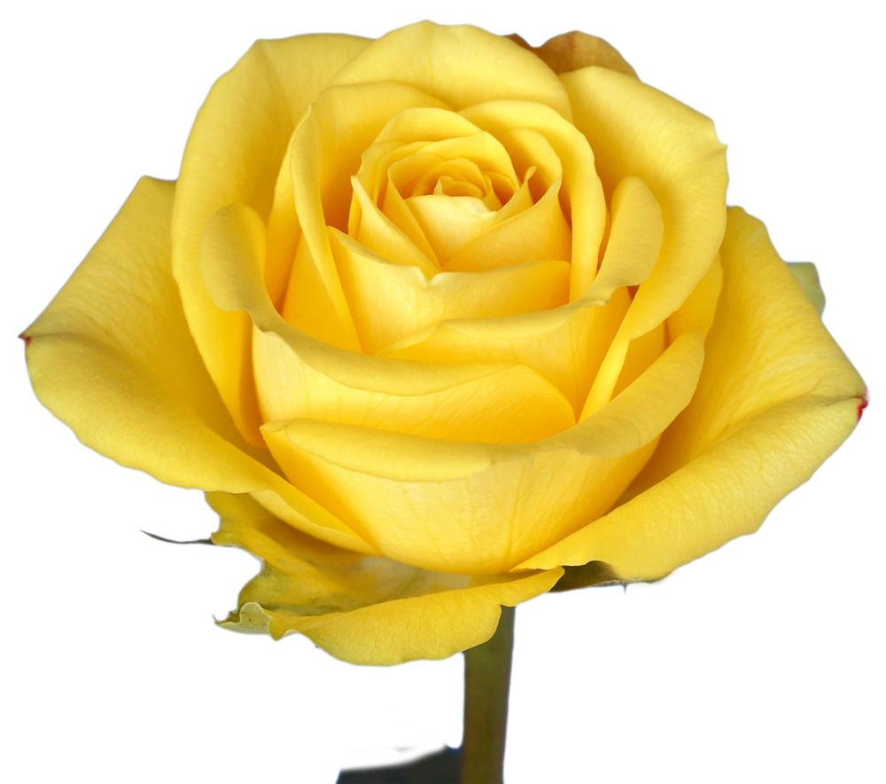 8c772a32ef87 Roses — Fair Trade Floral Inc.