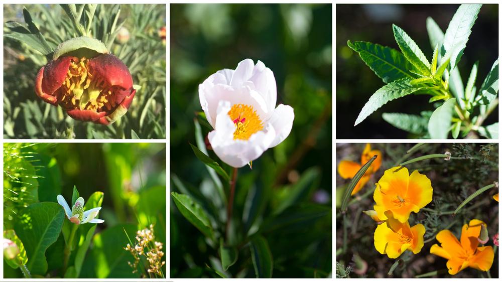 Clockwise from bottom left: Yerba Mansa (Anemopsis californica),California Peony (Paeonia californica), Bai Shao (Paeonia lactiflora), Yerba Santa (Eriodyction californica), California Poppy (Eschscholzia californica).