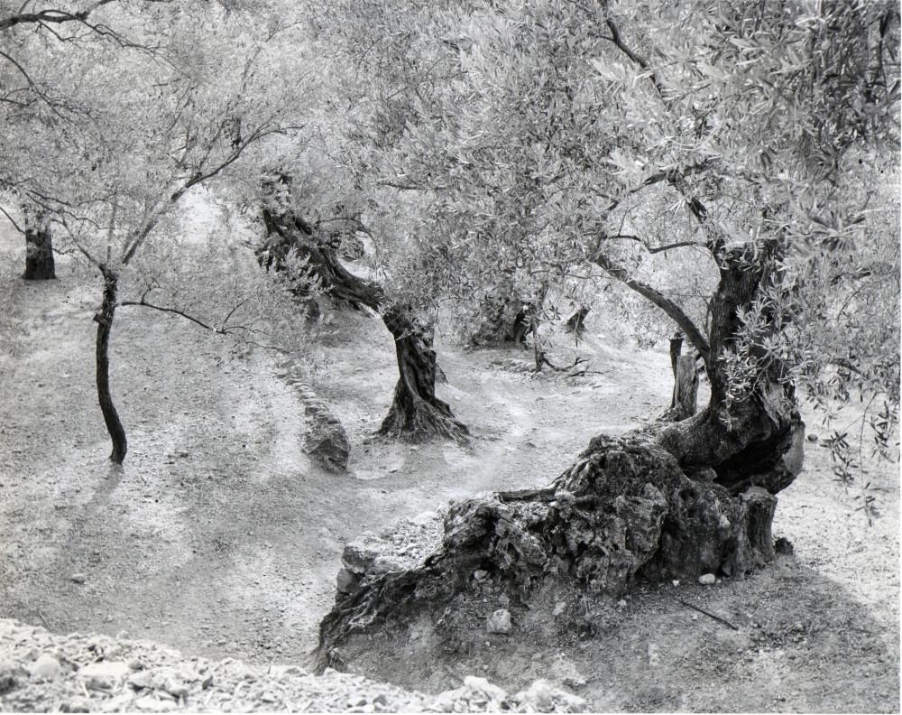 m-Auerbach, Olives, Mallorca 1959