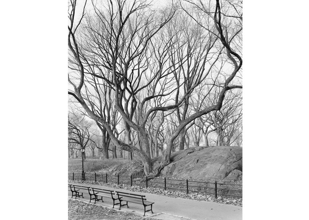 © Mitch Epstein, American Elm, Central Park, 2012, 2013.