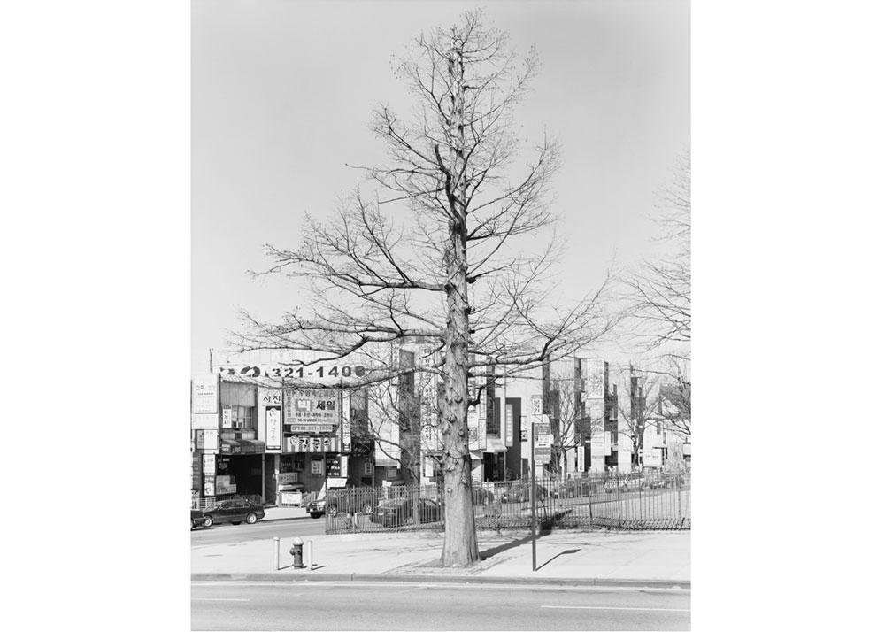 © Mitch Epstein, Bald Cypress, Northern Boulevard, Queens, 2011, 2013.