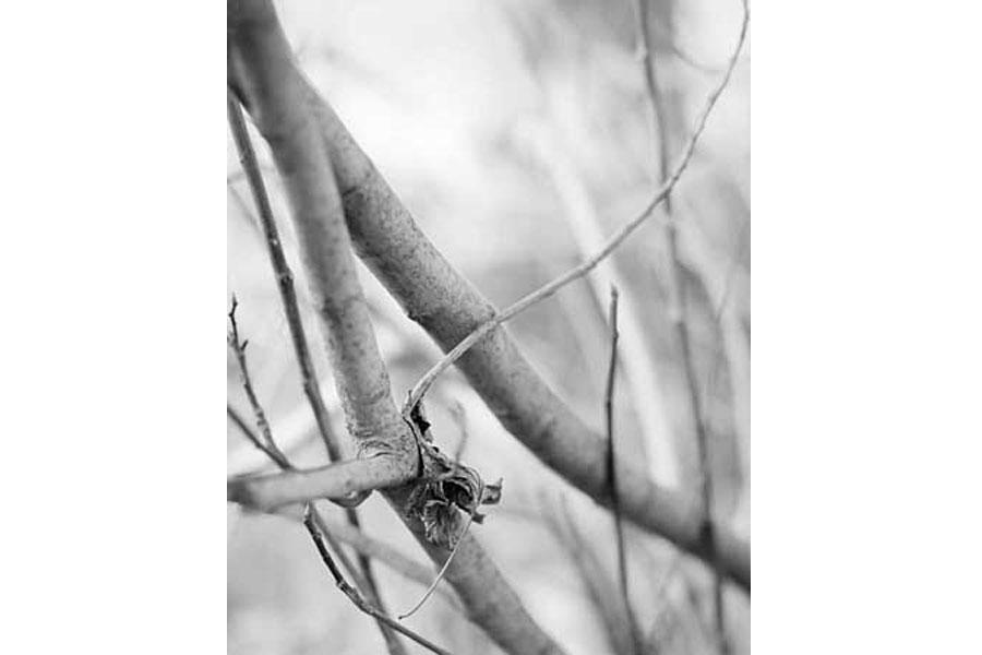 Fig Trees 1