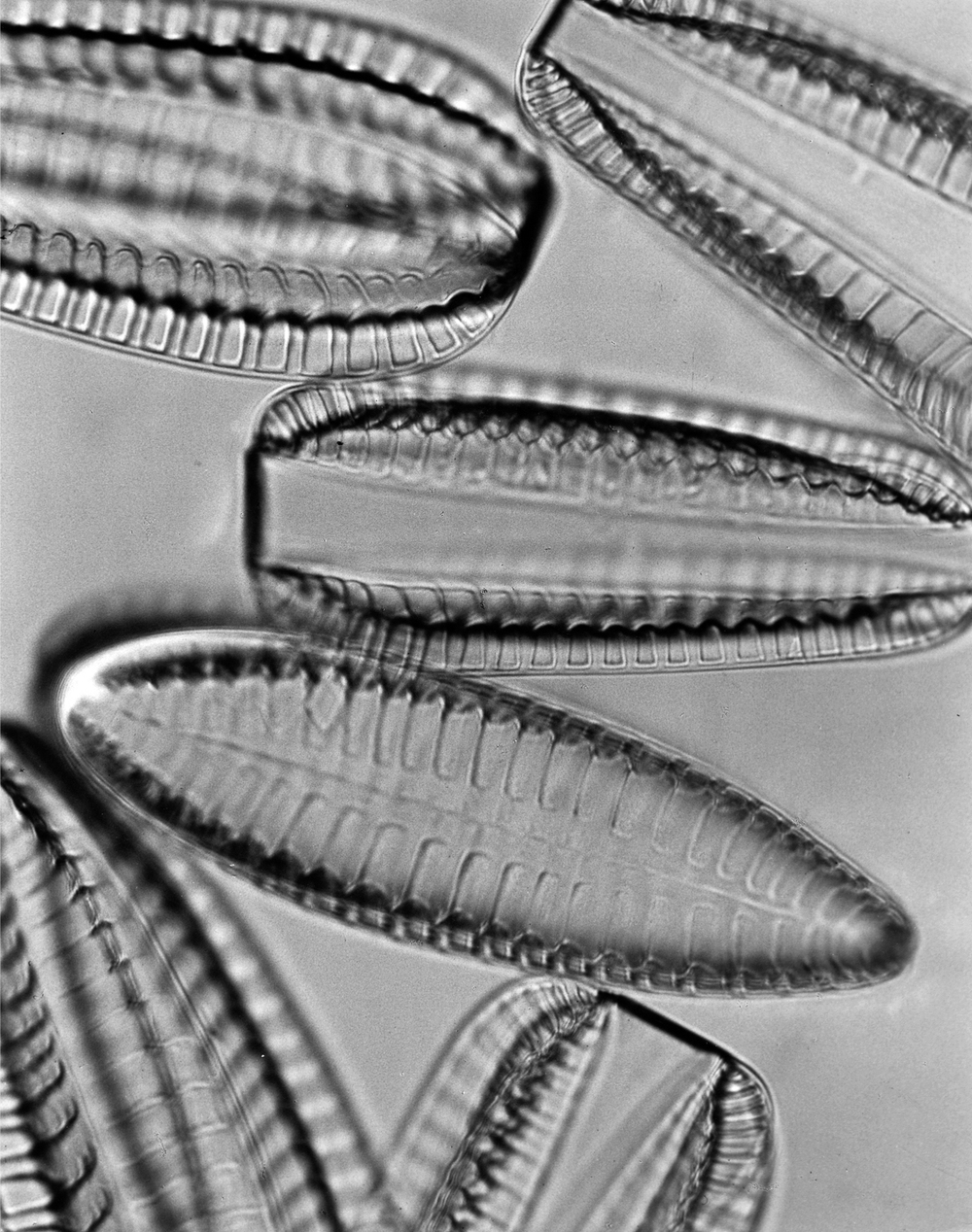 Image above: ©Diatoms (Surirella saxonica), Fresh Water, 1932' / Courtesy Steven Kasher Gallery