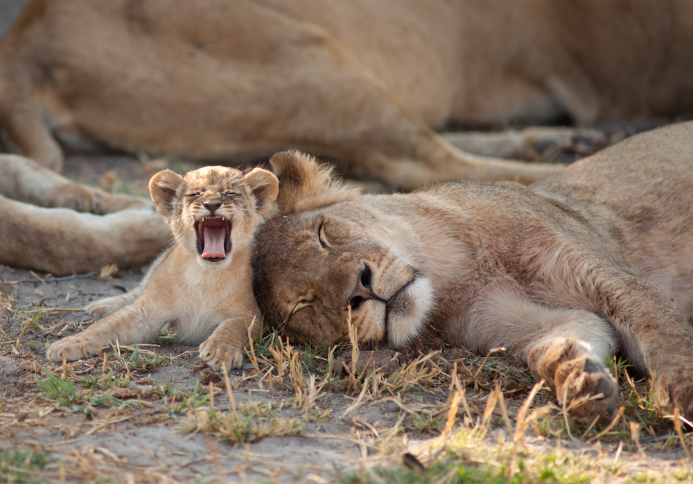 Image above: ©Brent Stapelkamp, Little roar: A young cub, not content to sleep like the rest of the pride, yawns and gets ready to go and cause chaos. October 23, 2013 / Courtesy of Anastasia Photo