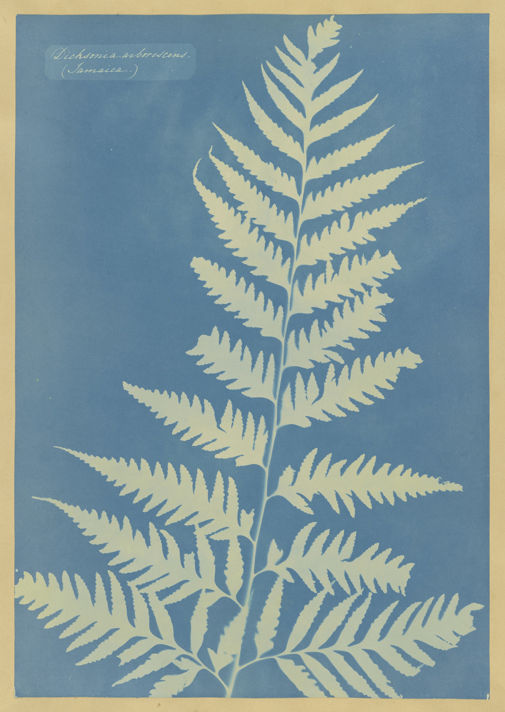 Anna Atkins, Dichsonia arborescens (Jamaica). 1850, Yale University Art Gallery, Gift of George Hopper Fitch, B.A. 1932.