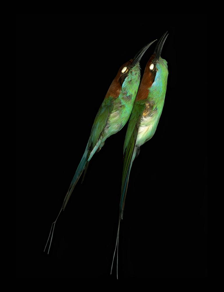 ©Leah Sobsey,Merops viridis