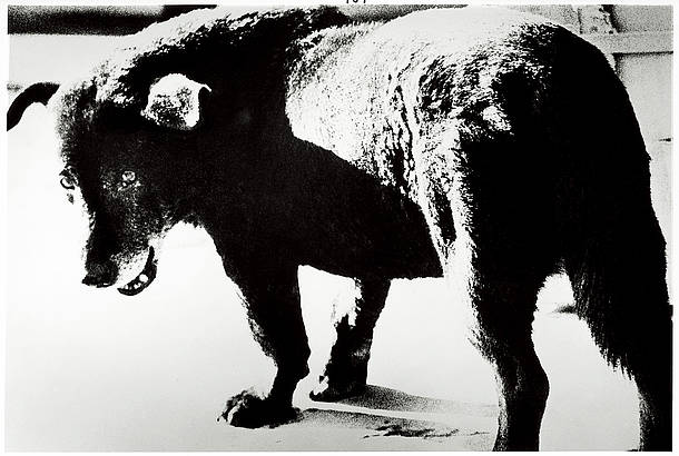 Daido Moriyama, Misawa, 1971  Gelatin silver print. 40 × 50 in. (101.6 × 127 cm). Hammer Museum, Los Angeles. Gift of Susan Steinhauser and Daniel Greenberg. © Daido Moriyama Photo Foundation / Courtesy of Luhring Augustine, New York, Taka Ishii Gallery, Tokyo, and Daido Moriyama Photo Foundation, Tokyo