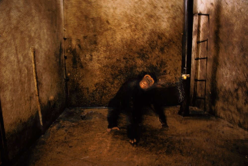 """Wild: Michael Nichols.""Whiskey, A Pet Chimpanzee, Burundi, 1989, by Michael Nichols (Courtesy of the artist) © Michael Nichols/National Geographic"