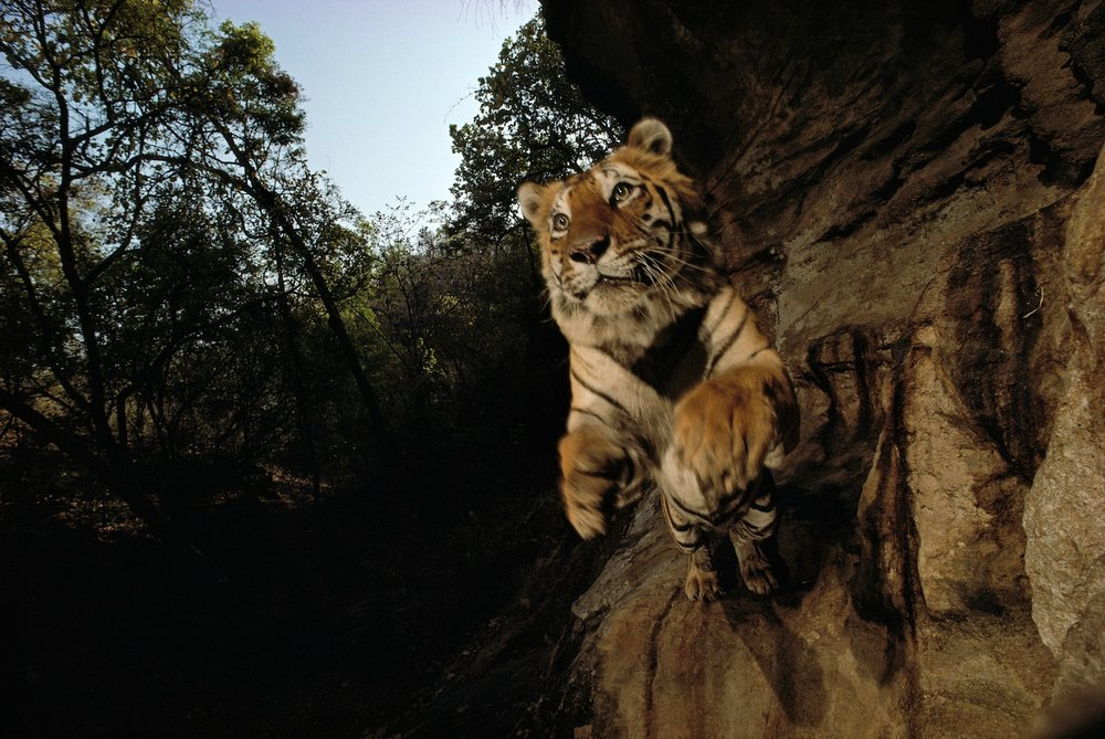 """Wild: Michael Nichols."" Charger, Camera Trap Photograph, India, 1997, by Michael Nichols (Courtesy of the artist) © Michael Nichols/National Geographic"