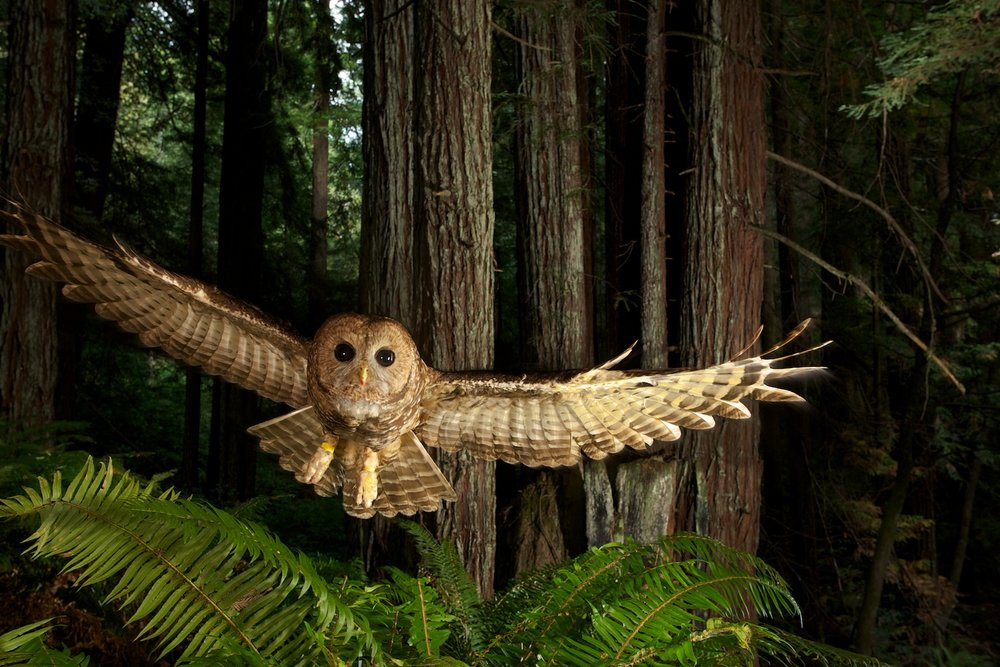 """Wild: Michael Nichols."" Northern Spotted Owl in Young Redwood Forest, California, 2009, by Michael Nichols (Courtesy of the artist) © Michael Nichols/National Geographic"