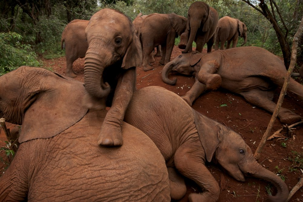 """Wild: Michael Nichols."" Orphan Elephants, Kenya, 2011, by Michael Nichols (Courtesy of the artist) © Michael Nichols/National Geographic"