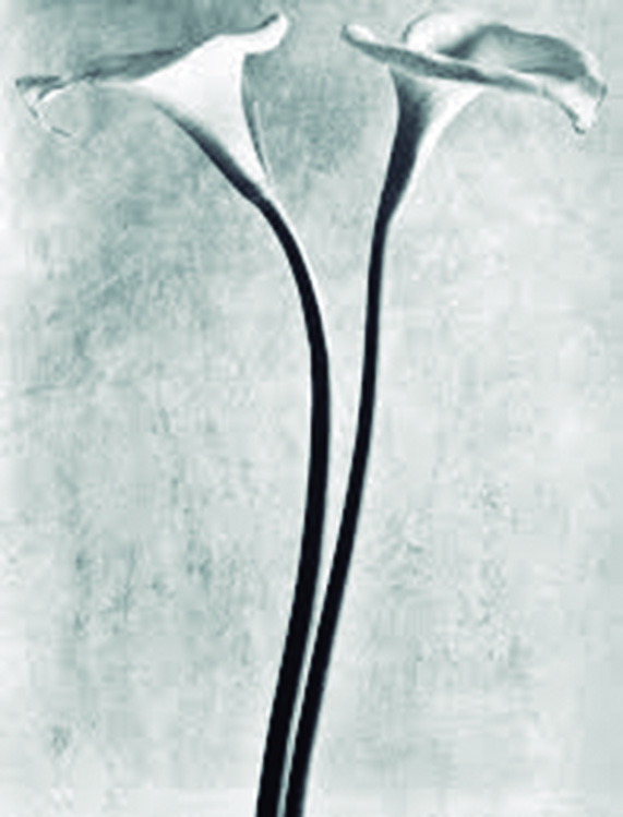 Calla Lilly, c. 1925, Photograph by: Tina Modotti