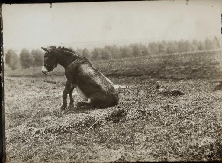 Étude de cheval, c. 1898-1900. Mulet assis.