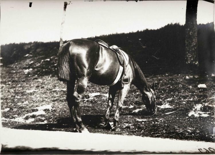 Étude de cheval, c. 1898-1900. Cheval au pré (croupe)