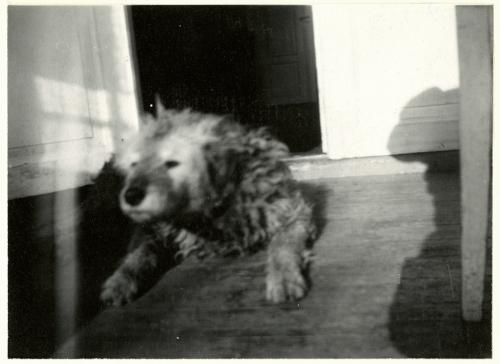 Edvard Munch Munch's Dog 'Fips', 1930 Original: Gelatin silver contact print Courtesy of Munch Museum