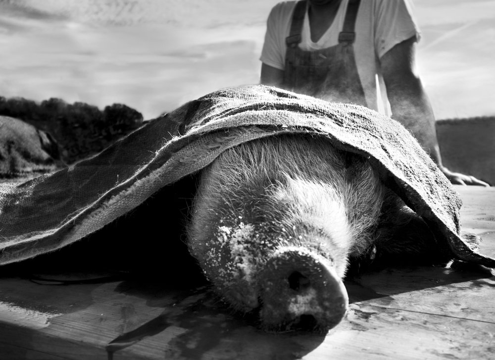 Cochon  © Lucius A. Fontenot