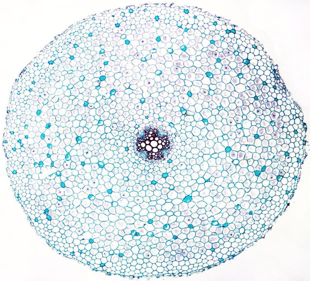 The stem of a buttercup,shown in cross section.© Michael Peres