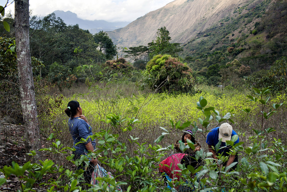 A family harvesting coca leaves in the town of Santa Rosa, Peru, July 28, 2012. In the sacred valley of the Incas to cultivate coca plants it is legal as long as farmers sell it or buy it from ENACO (National Coca Enterprise), something farmers don't entirely agreed with, since the company fixes the prices and buys coca leaves at low rates. Also, the leaves can not be brought outside the valley. © Carlos Villalon