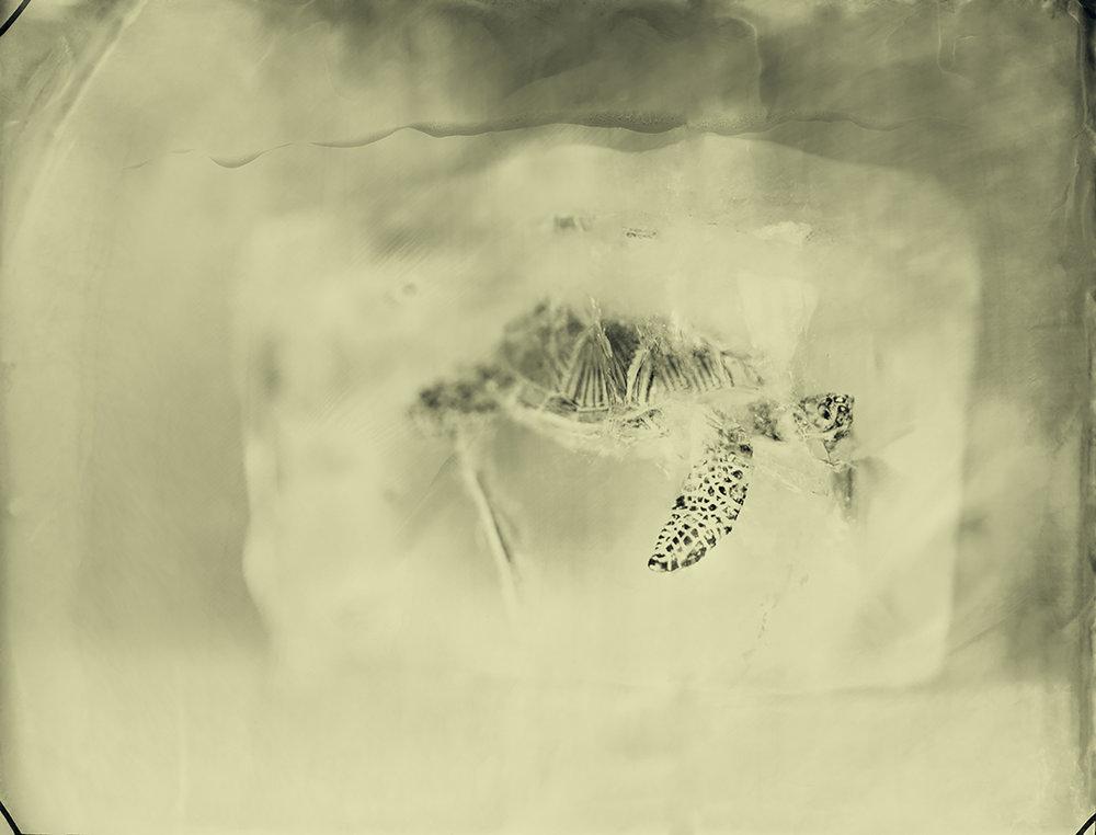 Hawksbill Turtle © Erik Hijweege