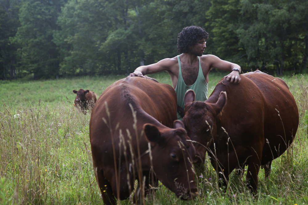 """""""Flaca Vaca Farm (2010-2018)."""" Simon Martinez petting a few of his Red Poll Cattle while moving them to a different pasture. Simon Martinez and his partner Robert Bollinger ran Flaca Vaca Farm from 2010 until 2018. They moved from New York City to Stamford, NY, and now are off to Detroit. © Tess Mayer"""