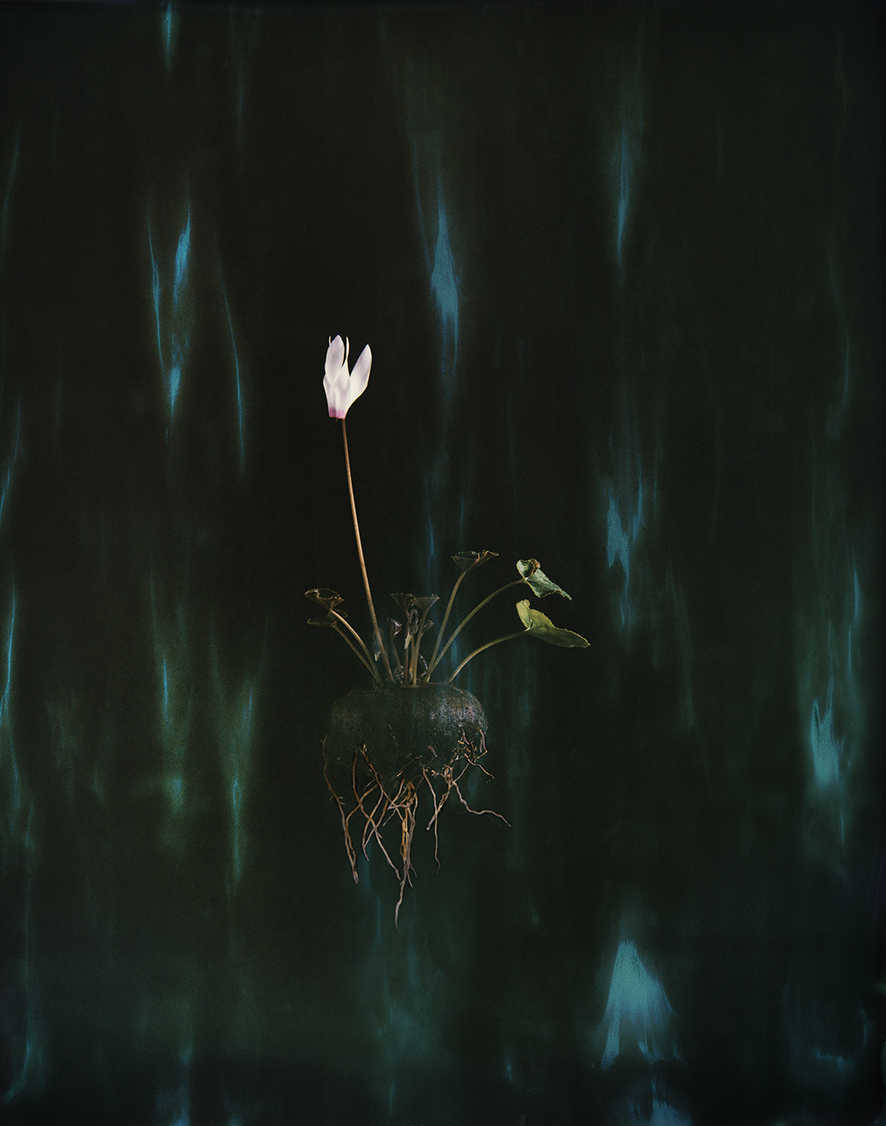 """Cyclamen 04P"", 2018  Copyright Ori Gersht. Courtesy of the artist and Yancey Richardson."
