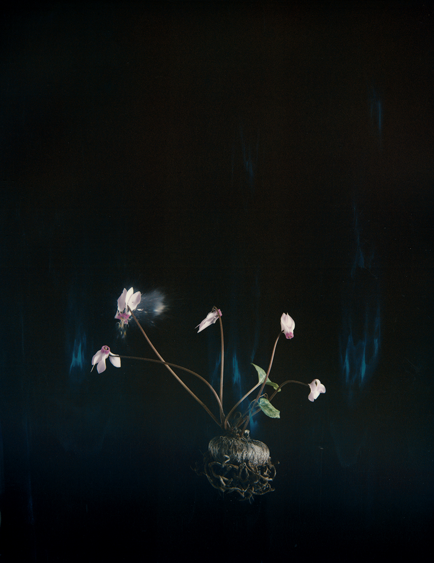 """Cyclamen 03P"", 2018  Copyright Ori Gersht. Courtesy of the artist and Yancey Richardson."