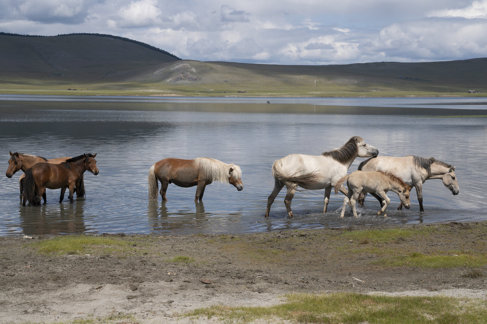 Horses cooling off after a hot day. In Mongolia, all the animals roam free. © Meghan Boody