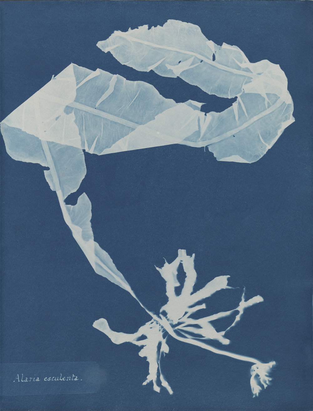 © Anna Atkins (1799–1871), Alaria esculenta, from Part XII of Photographs of British Algae_ Cyanotype Impressions, 1849-1850, cyanotype. Spencer Collection, The New York Public Library, Astor, Lenox and Tilden Foundations..jpg
