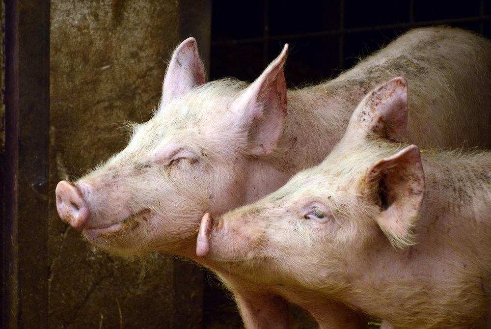 pigs-3967549_1920.jpg