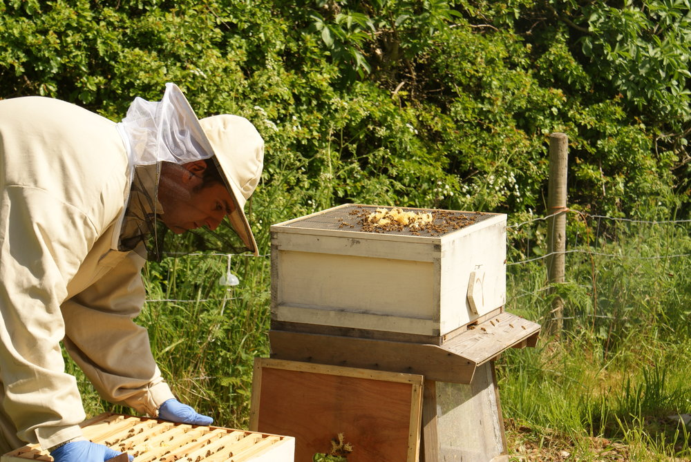 Working in the apiary.