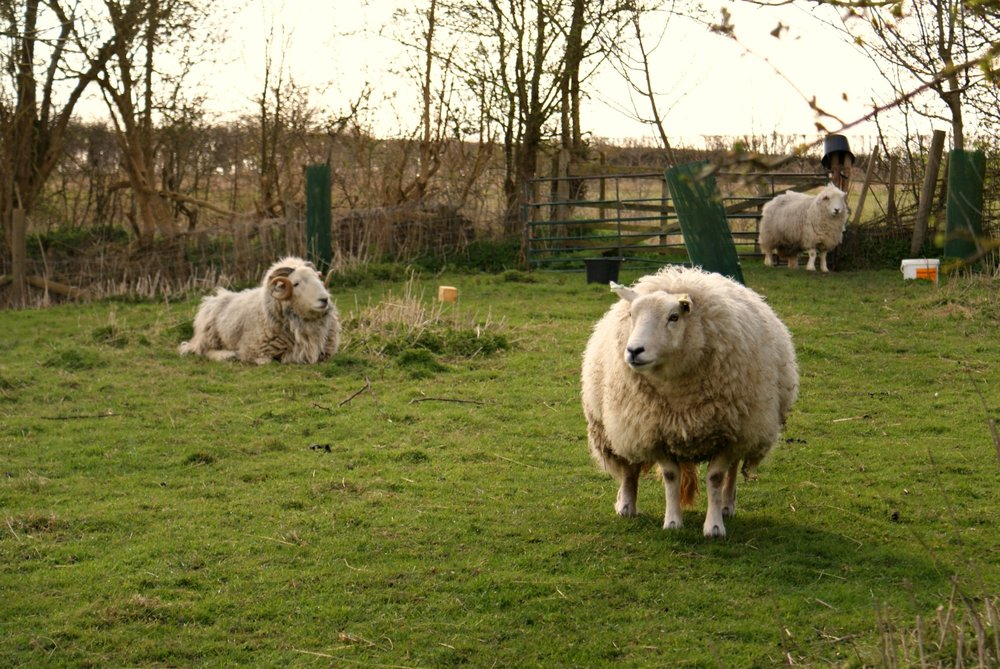 The sheep are either kept in the top field or the orchard, and are moved for fresh grazing.