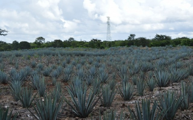 BLUE AGAVE - MAYAPAN - TRADITIONAL AGAVE DISTILLERY (PHOTO COURTESY OF PEANUTSORPRETZELS.COM)
