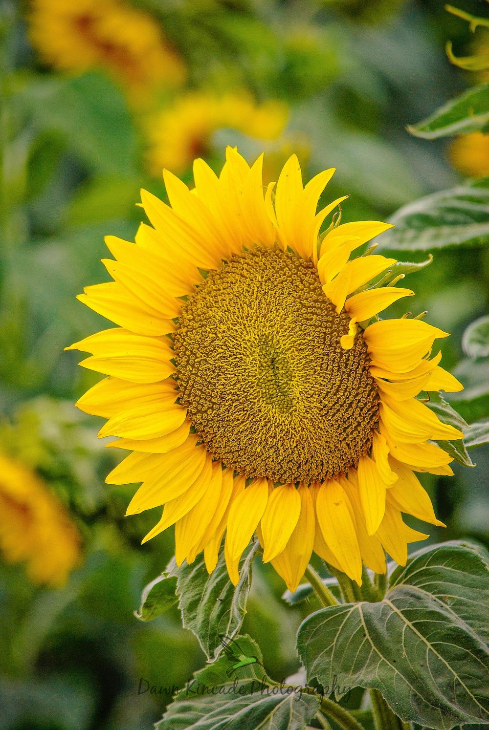 Solano Sunflowers