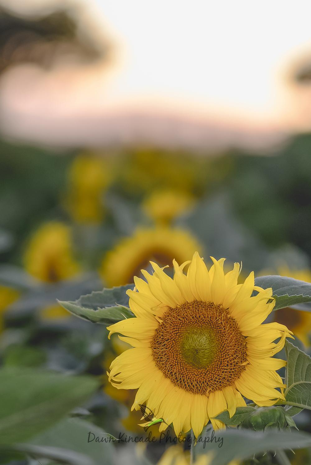 Sunflowers at Twilight