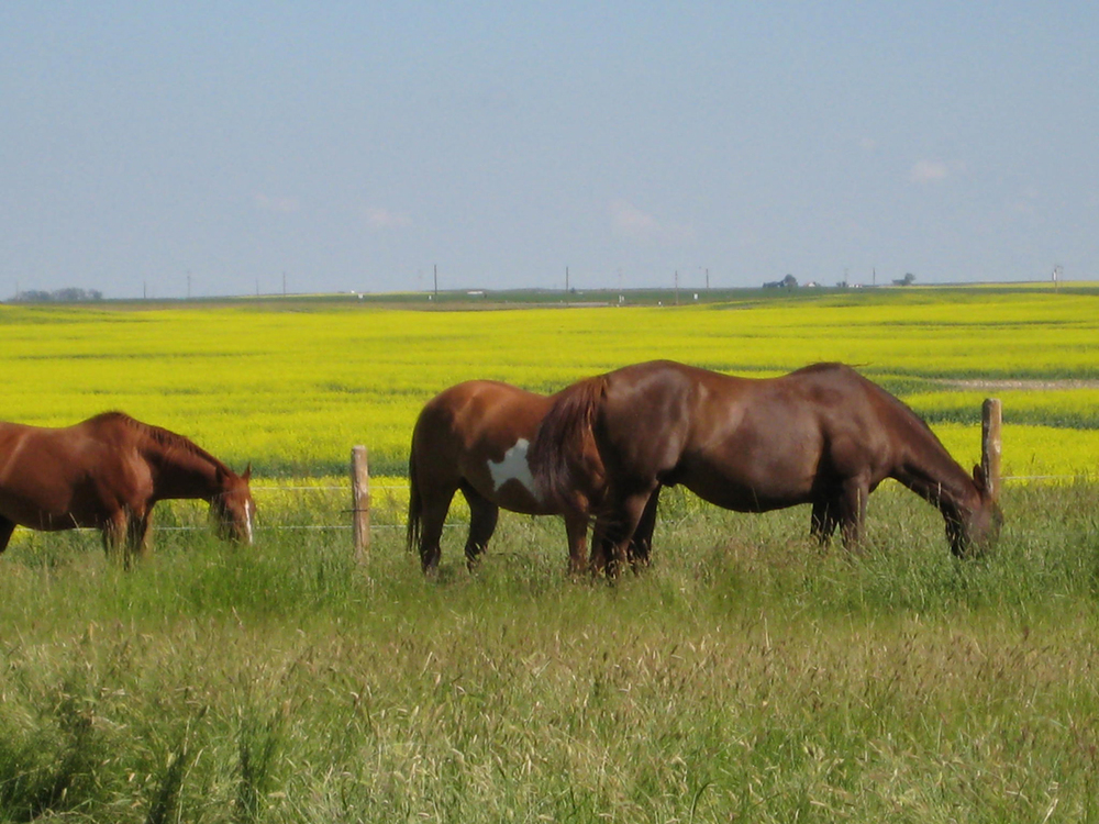 Horses-and-canola_1.jpg