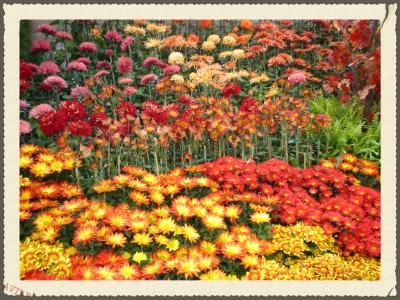 Mums, in those beautiful fall colours!