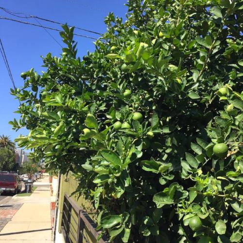 Eat Local: Orange tree, Venice Beach