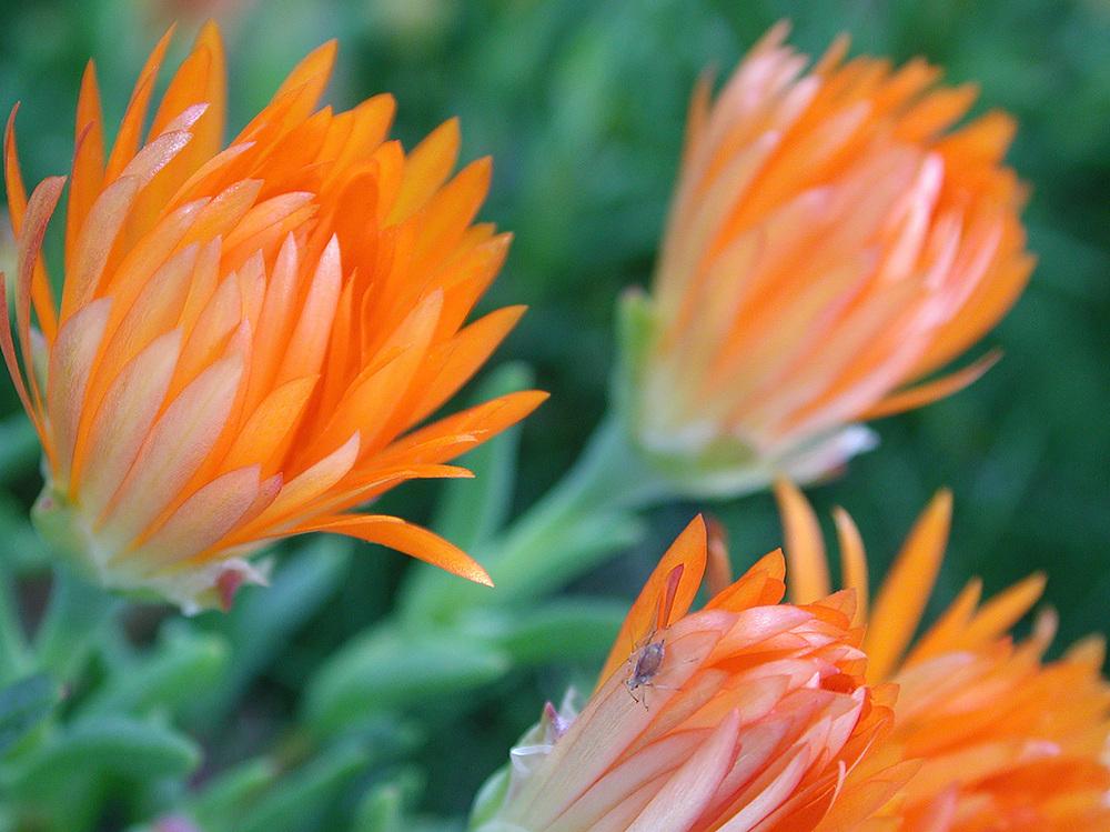 3bud_aphid_flowers.jpg