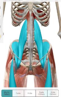 Highlighted in blue: Psoas group, iliacus, rectus femoris (a.k.a. Hip Flexors)