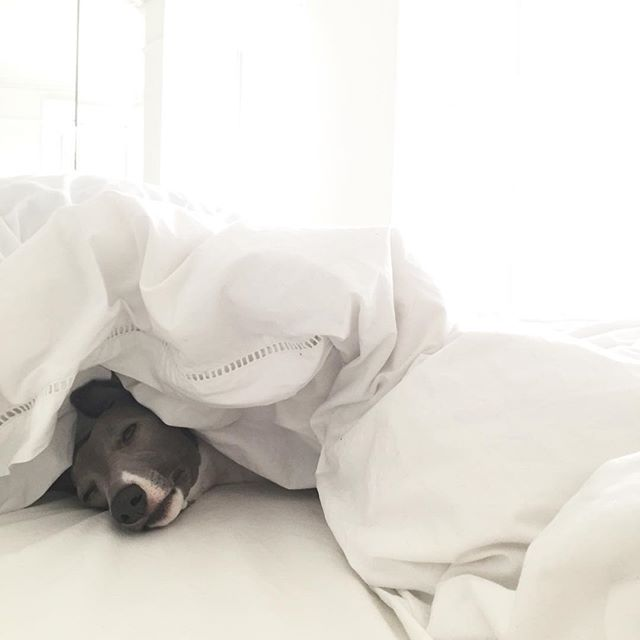 I have no idea how she actually gets under the duvet but guaranteed if you leave the room for 2 minutes she'll be in... #sundays x