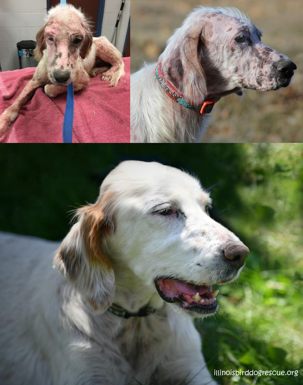 Lyme Disease Dogs